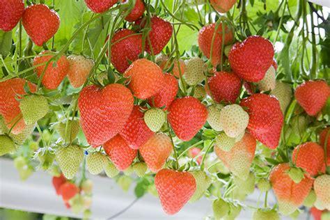 Strawberry Fragaria X Anan A Sasha