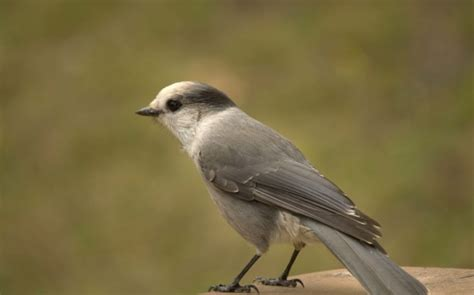 what should canada s national bird be