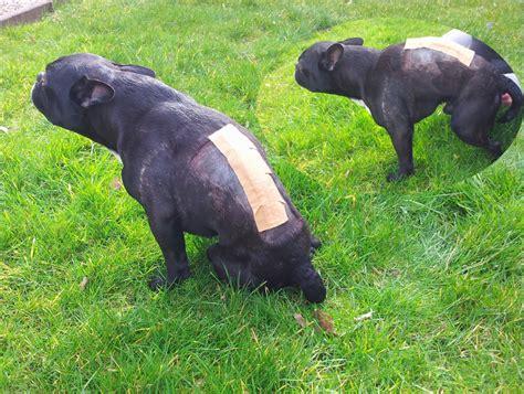 Französische Bulldoggen Welpen Züchter