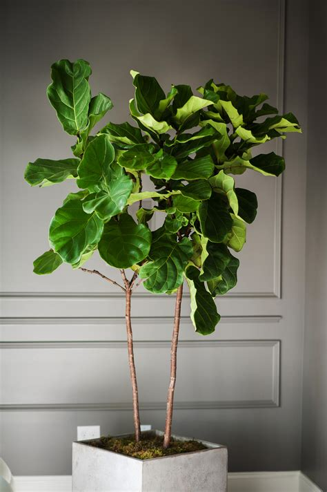 small side tables fiddle leaf fig going green never looked so moss manor