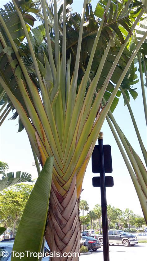 ravenala madagascariensis travelers palm toptropicalscom