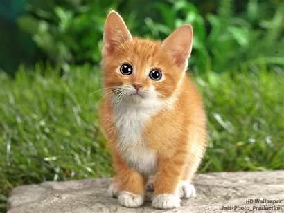 Cats Cat Brown Kittens