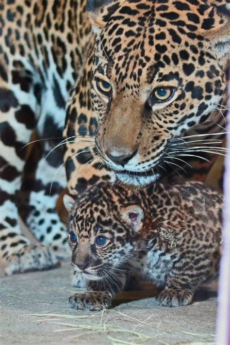 Jaguar Cub Is a Handful…and Mouthful - ZooBorns