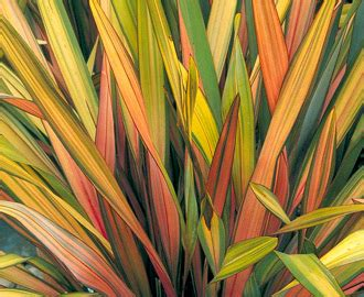 zealand flax phormium rainbow queen plant propaganda