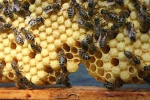 Warum Machen Bienen Honig : ableger bilden ablegerbildung bienen bienen halten fertiges vollvolk honig honig kaufen honig ~ Whattoseeinmadrid.com Haus und Dekorationen