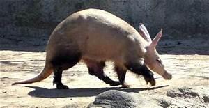 Aardvarks - all the interesting facts and information
