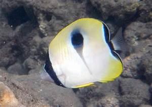 'Āhihi-Kīna'u: Butterflyfish | Marine Life etcetera