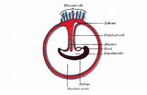 Feather Umbilicus Diagram