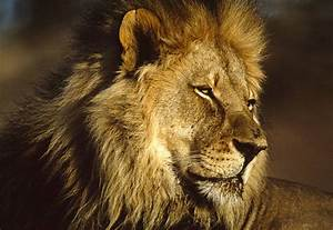 Lion HD Wallpapers African Lions Pictures - HD Animal ...