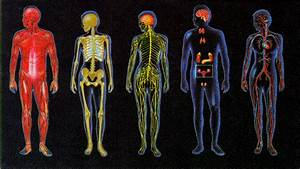 Semester Theme  The Human Body Systems