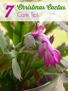 The Best Ideas For Christmas Cactus Care Indoor