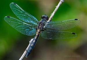 Dragonfly L by Stack Focused Dragonflies