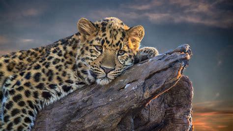 Leopard Animal Wallpaper - leopard wallpaper 4kwallpaper org