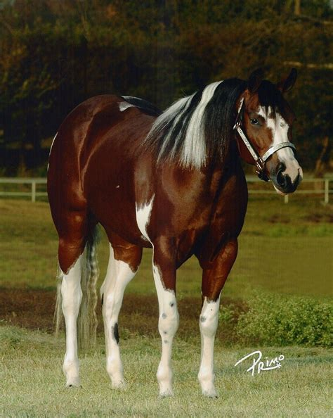 horse paint american mare dun rooster horses stallion quarter pinto pretty most majestic markings breeds breyer western