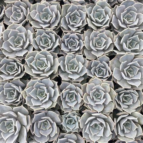 premier color echeveria lilacina premier color nursery