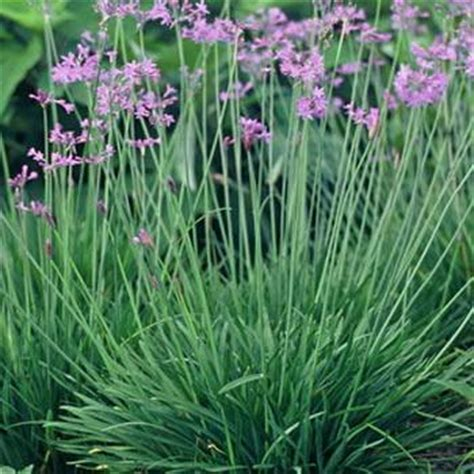 Society Garlic Seeds   Tulbaghia Violacea Silver Lace