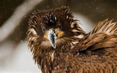 gambar wallpaper burung elang gambar terbaru hd