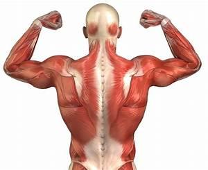 Human Back Anatomy Muscles - Human Body Anatomy System