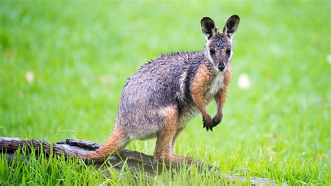 australian animal yellow footed rock wallaby tourism
