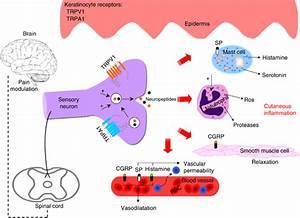 Potential Mechanisms Of Transient Receptor Potential Vanilloid 1