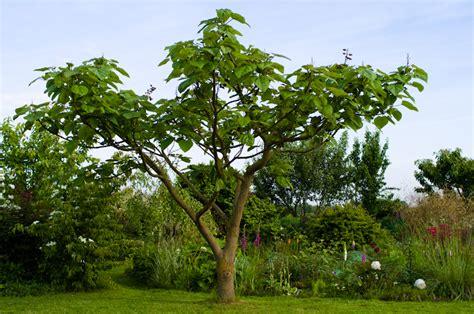 paulownia tomentosa un bel arbre qui pousse vite jardinews
