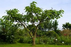 Arbre Ombre Croissance Rapide : paulownia tomentosa un bel arbre qui pousse vite jardinews ~ Premium-room.com Idées de Décoration