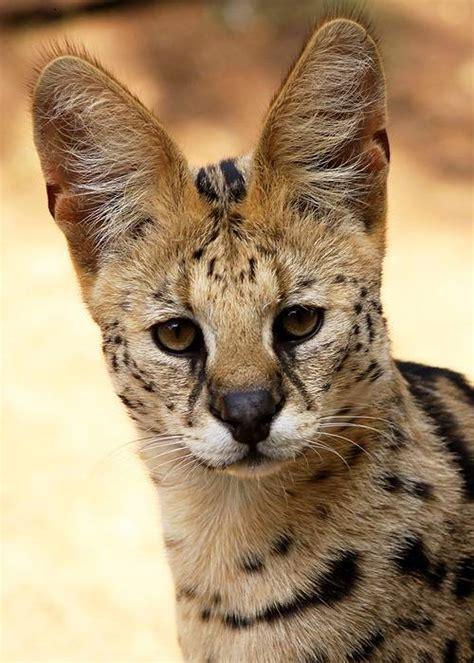 serval cat animal facts encyclopedia