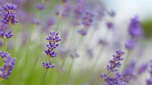 Lavender Wallpapers | Desktop Wallpapers