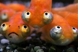 Goldfish Selection and Rearing - Page 2 - Site for ...
