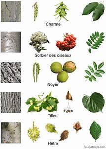 Comment Affuter Un Foret : comment reconnaitre un arbre ah04 montrealeast ~ Dailycaller-alerts.com Idées de Décoration