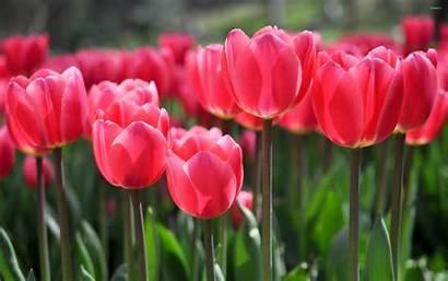 Tulips Pink Wallpapers Tulip Flower Flowers Windows