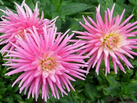 Flower Bright Pink Dahlia Cactus Flowers 4k Ultra Hd 1610