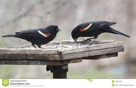 two red winged blackbirds royalty free stock images