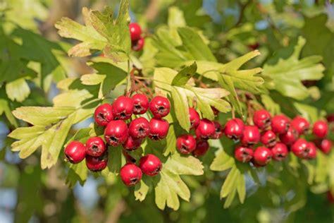 Beeren Im Herbst by Bessere Gesundheit Durch Wei 223 Dorn Wie K 246 Nnen Die Roten