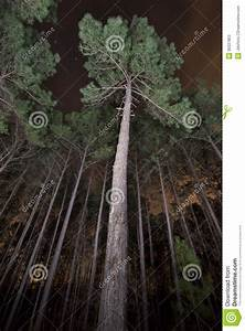Pine Trees In A Forest At Night Stock Photos - Image: 30337863