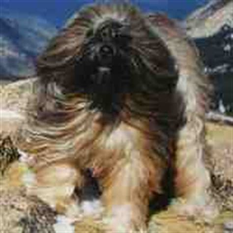 Do Tibetan Terriers Shed by Medium Breeds That Don T Shed