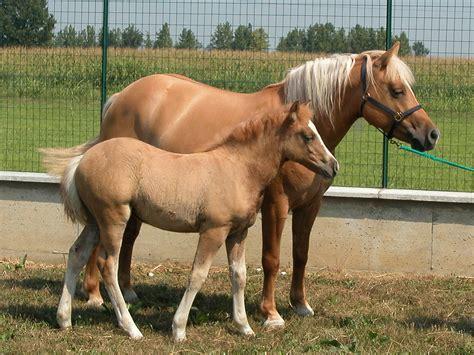 cloned horses clones horse olympics baby