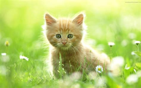 fond d écran chaton mignon image fond d cran chaton mignon fond ecran chat b8ed4815 image fond d cran chaton mignon 0 chats