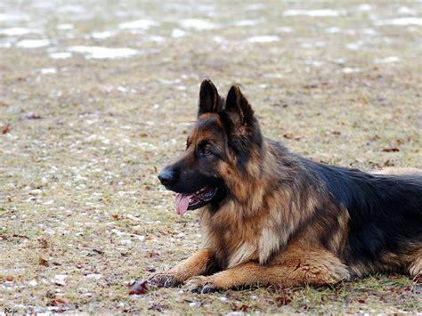 German Shepherd Wallpapers | Fun Animals Wiki, Videos ...