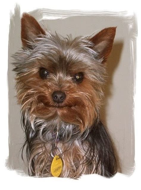 Miniature Yorkshire Terrier Yorkie  Ee  Rescue Ee