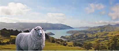 Zealand Wool Eu Dryer Sheep Unexpected Balls