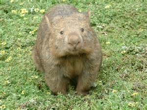 What Does a Wombat Look Like