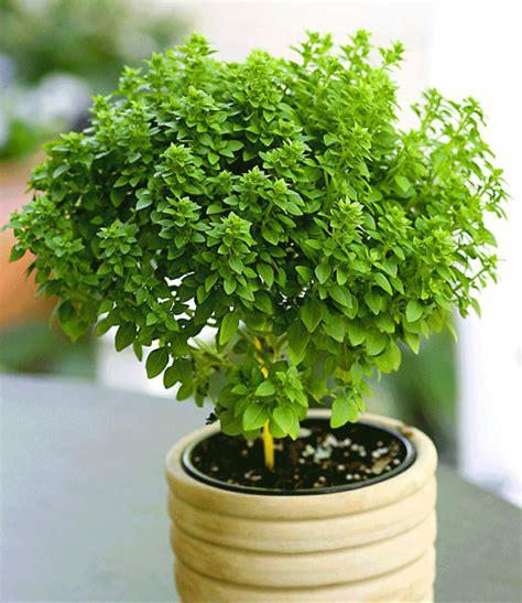basilikum pflanze pflege basilikum b 228 umchen kr 228 uter gew 252 rze pflanzen bei baldur garten