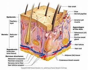 Skin Structure Diagram