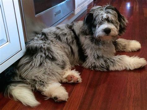 Standard Blue Merle Aussiedoodle Top  Mock Faked Poodle