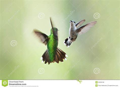 hummingbirds mating dance stock photo image of birds