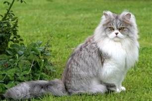 hair cat breeds cat breeds hair cats types
