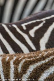 Abstract Zebra Pattern