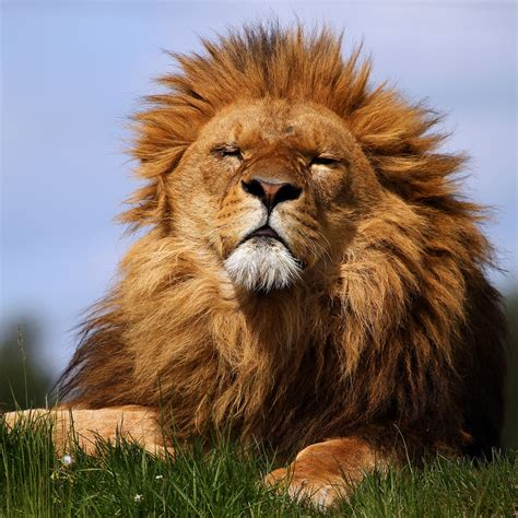 Hd Lion Pictures Lions Wallpapers