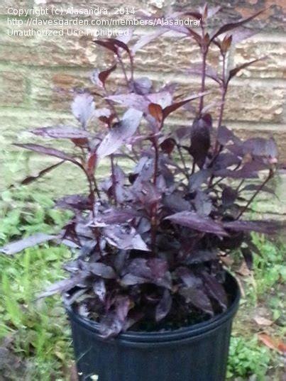 purple leaf trees identification plant identification closed purple leaves 1 by alasandra